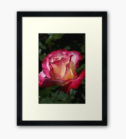 Spring Rose Delight  Framed Print