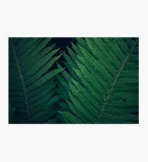 Fresh young bright dark green fern, natural background texture, wild plants in summer Photographic Print