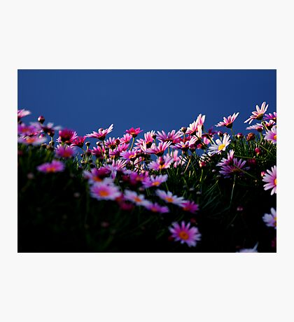 Daisies by the canal, Samezu, Tokyo, Japan Photographic Print