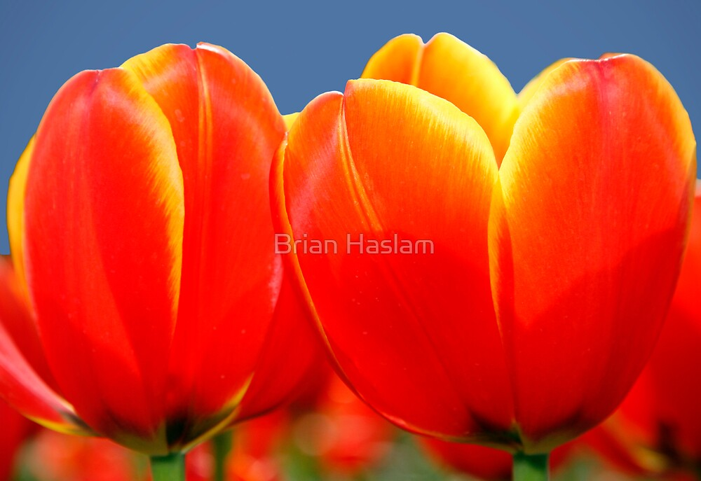 Tulips by Brian Haslam