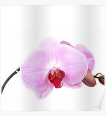 Orchid luxury white and rose fashion  Poster