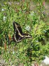 Swallowtail Butterfly by Cathy Jones