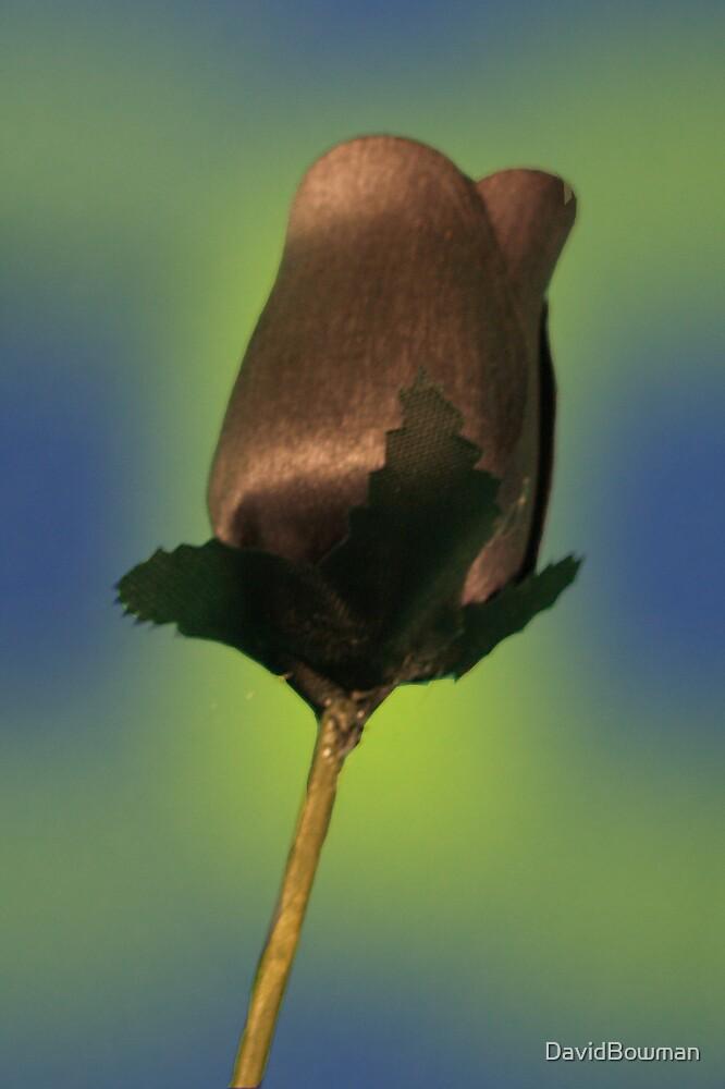Black Rose 2 by DavidBowman
