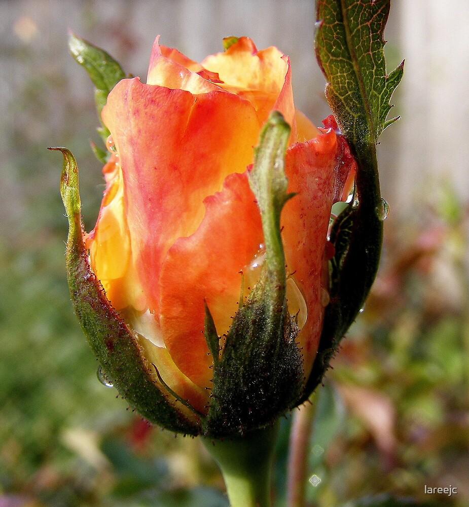 Sad Rose by lareejc