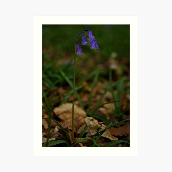 Single Bluebell in Prehen Woods, Derry Art Print