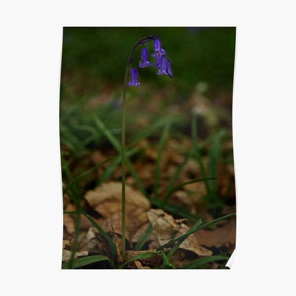 Single Bluebell in Prehen Woods, Derry Poster