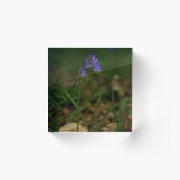 Single Bluebell in Prehen Woods, Derry Acrylic Block
