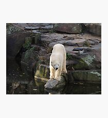 Polar Bear Rock (Berlin)  Photographic Print