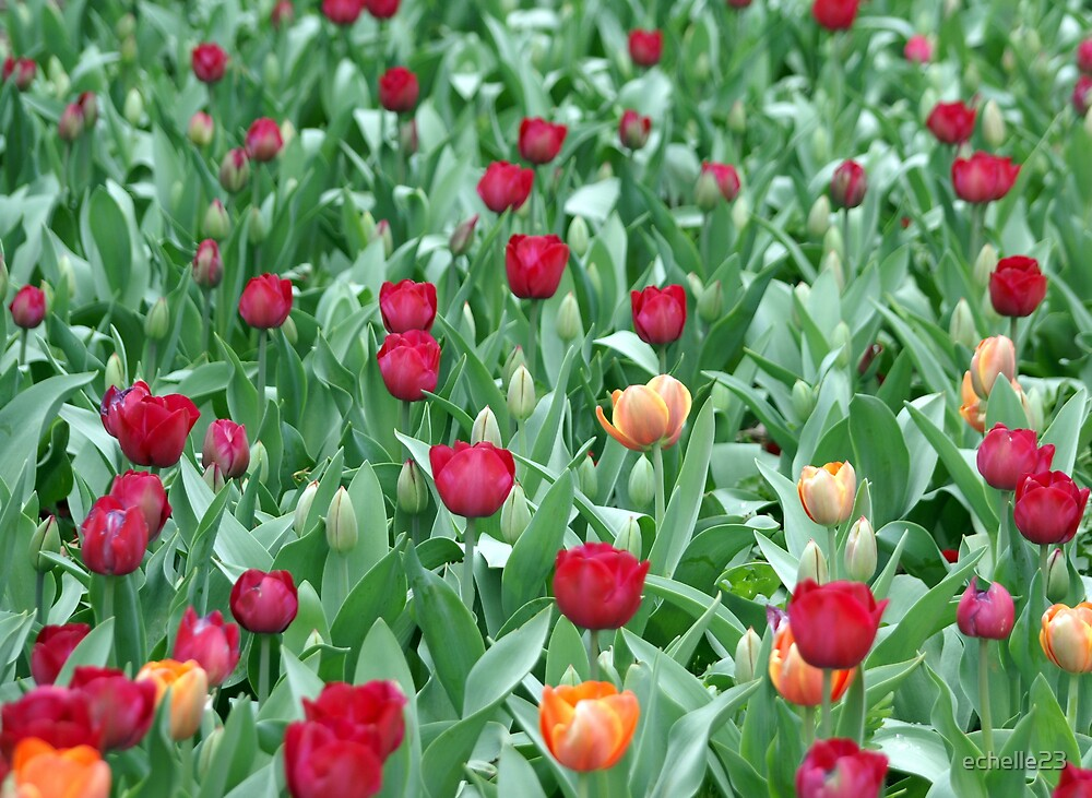 Tulips by echelle23