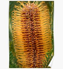 Beauty of the Banksia Poster