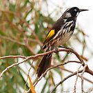 New Holland Honey-eater by Peter Krause
