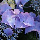 Blue Hydranga by AnnDixon