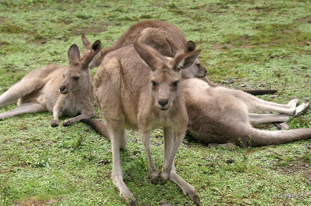 Kangaroos in the Park by echelle23