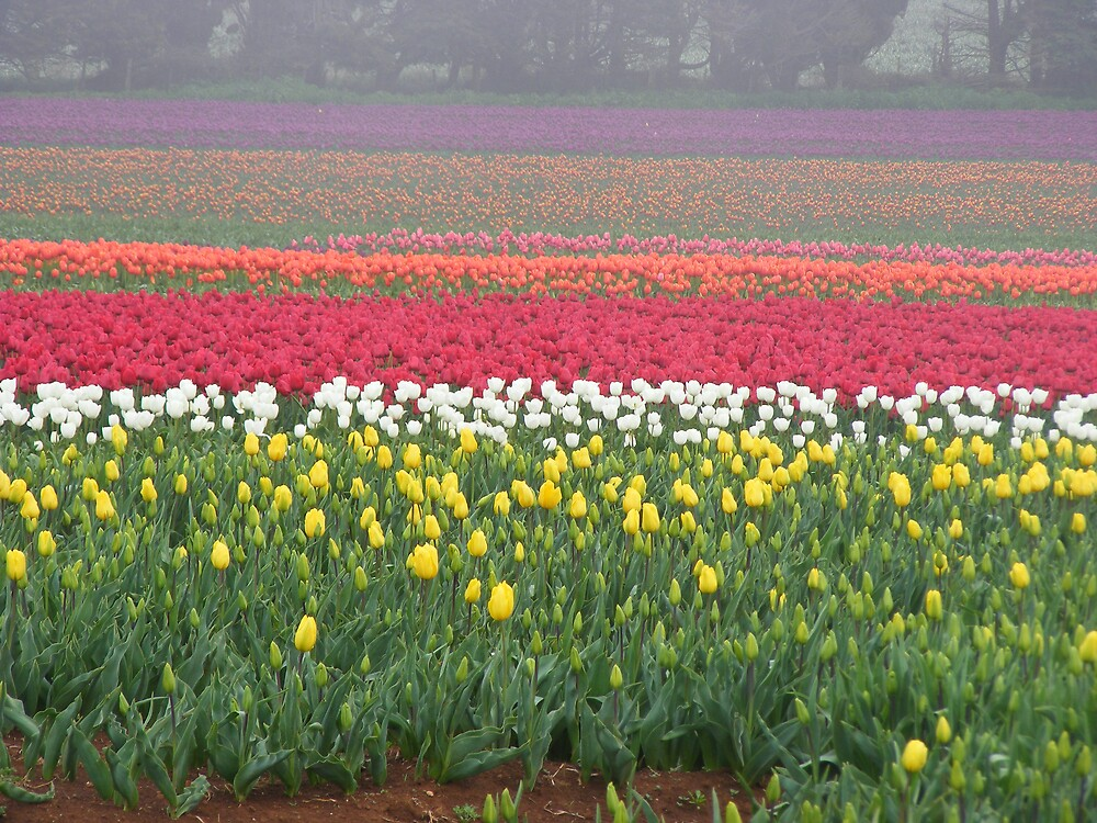 farm tulips at Wynyard, Tasmania by gaylene