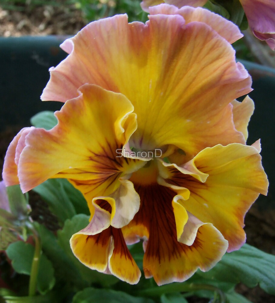 Ruffled Pansy 03 by SharonD