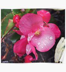 Pink Begonia Photo Poster