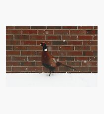 Pheasant In The Snow Photographic Print