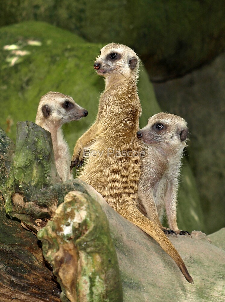 Meerkat family by Bev Pascoe