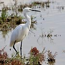 Elegant Egret by dilouise