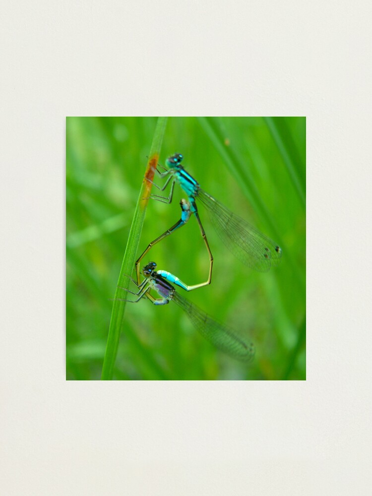 Alternate view of Dragonflies on the wing Photographic Print