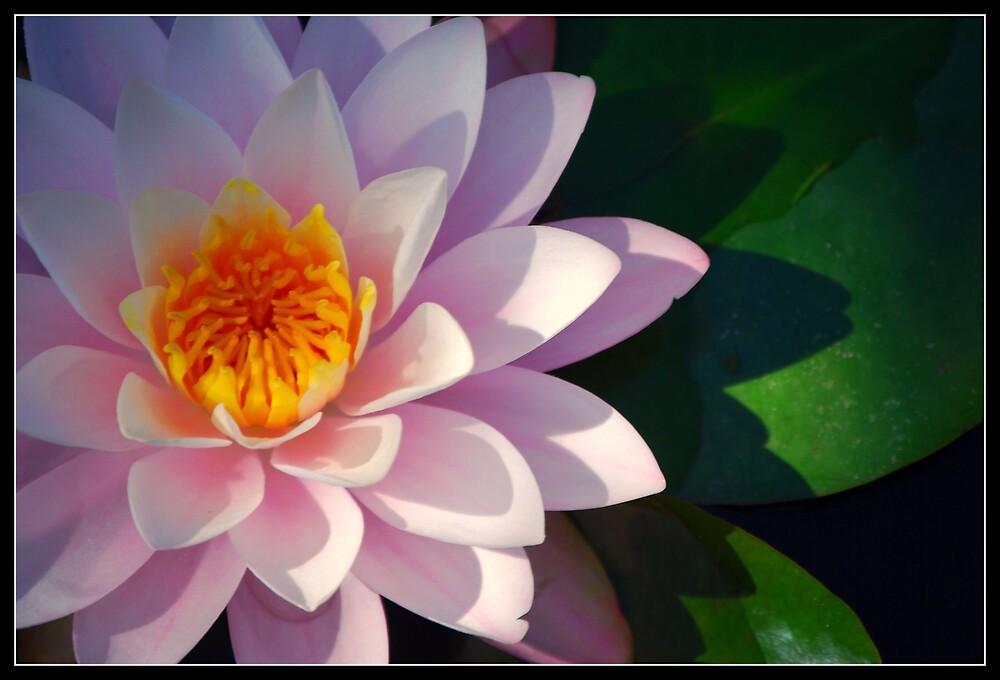 Waterlilly by Karen Keaton