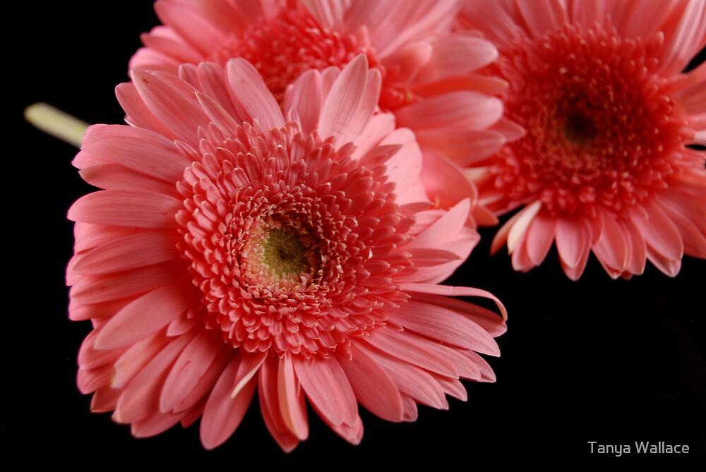 Pink Gerbera Daisy by Tanya Wallace