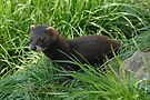 Young Polecat by Foxfire