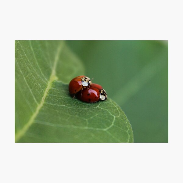 Mating Asian Lady Beetles Photographic Print