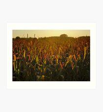 Corn field in warm golden evening light Art Print