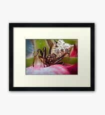 Spined Micrathena Spider Framed Print