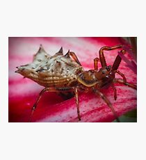Spined Micrathena Spider Photographic Print