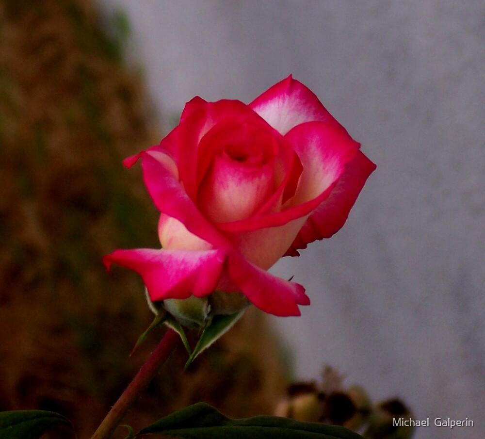 Single Rose by Michael  Galperin