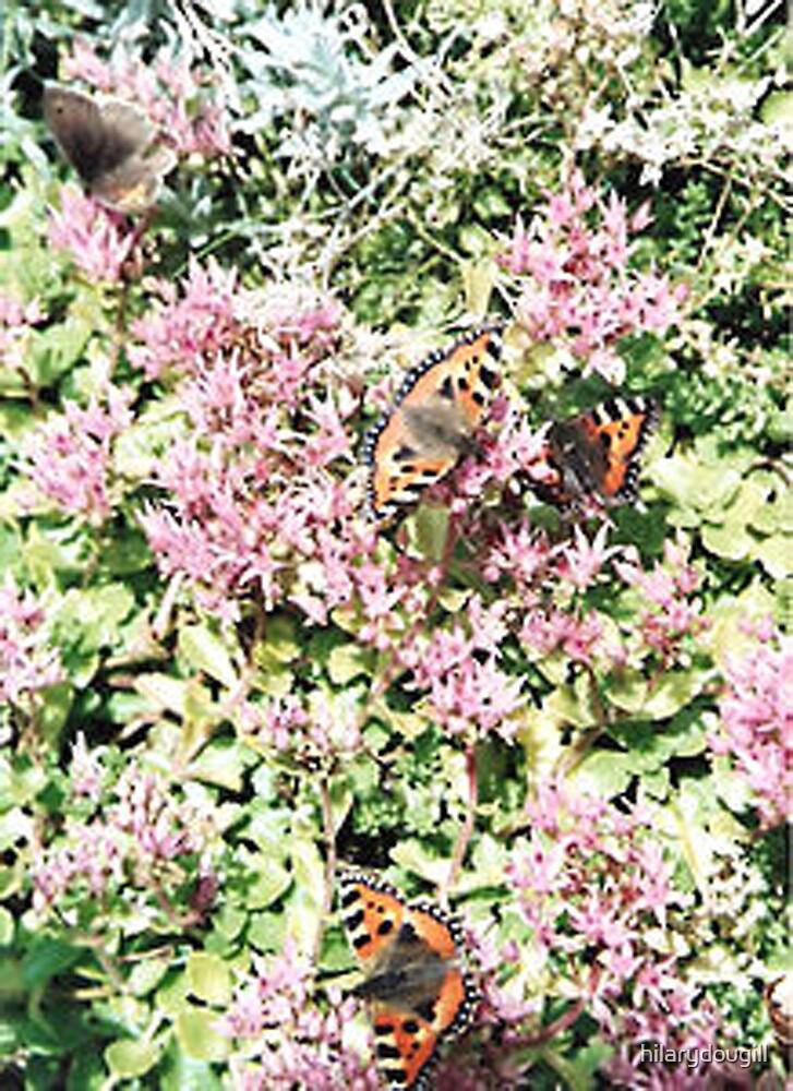 Butterflies on the Sedum by hilarydougill