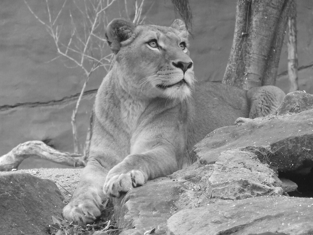 Lioness by Katherine Wiles