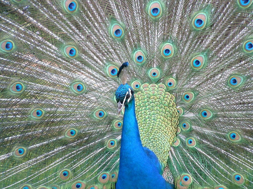Show Off - Peacock - Melbourne by Katherine Wiles