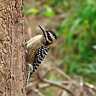 Ladder-Backed Woodpecker by Richard G Witham
