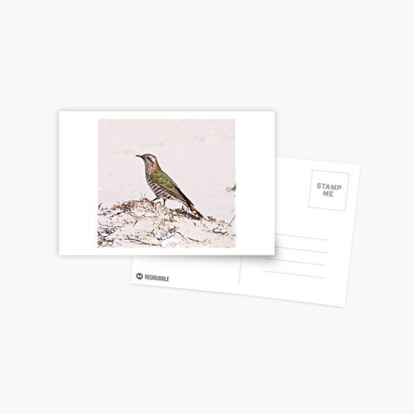 CUCKOO ~ Shining-bronze Cuckoo by David Irwin Postcard