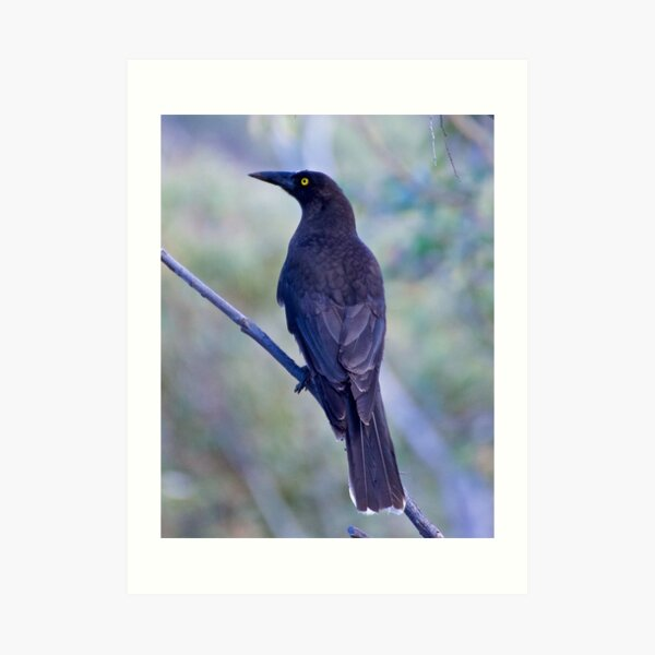 ARTAMIDAE ~ Grey Currawong by David Irwin Art Print