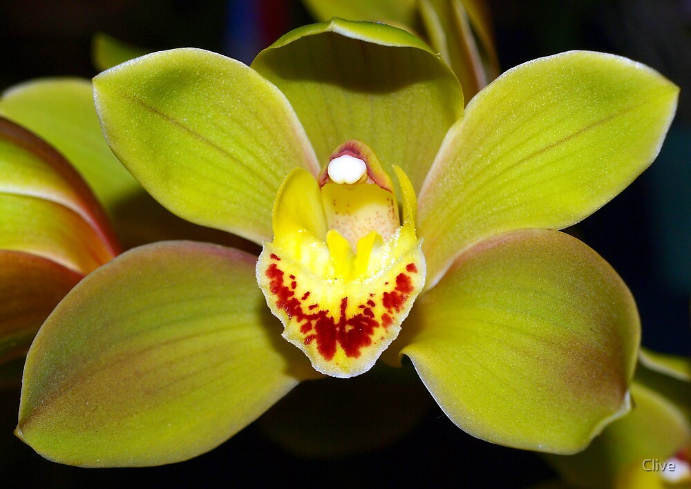 The Orchid - Cym African Adventure 'Jungle Trail' by Clive