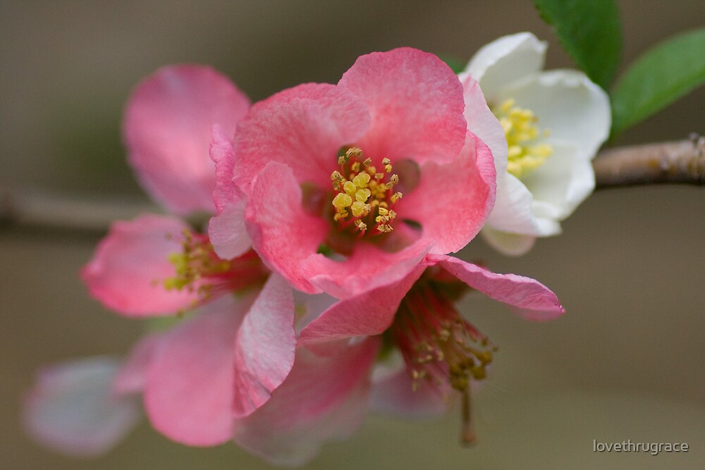 Pink cherry blossoms macro by lovethrugrace