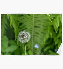 White dandelion in summer Poster