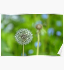 Dandelion in green Poster