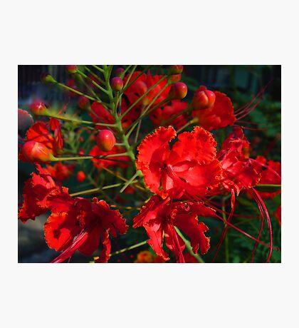 Red Bushflowers Photographic Print