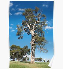 Gumtree in all its Glory Poster
