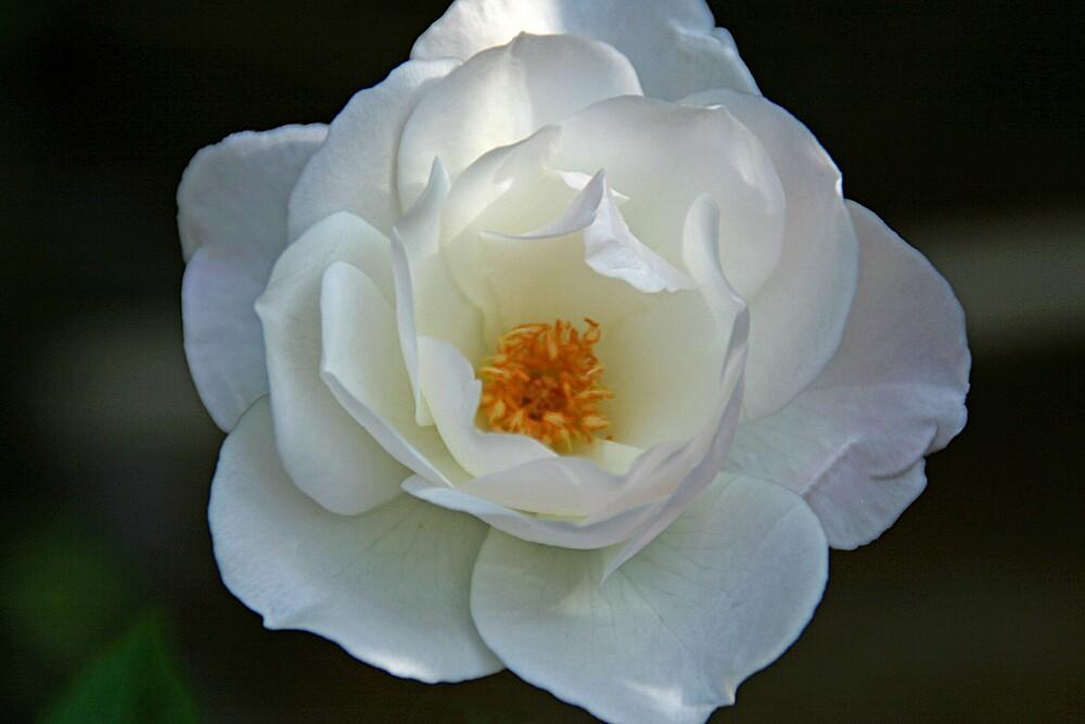 White Rose by jdphotos