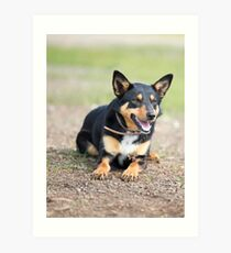 Missy... Young Kelpie....looking on... Art Print