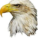 Bald Eagle Head by Dave  Knowles