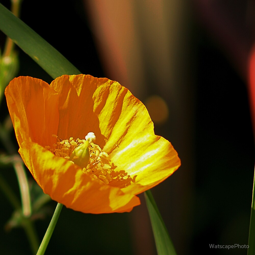 Yellow Poppy by WatscapePhoto