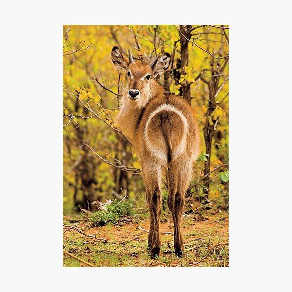 Waterbuck (Kobus ellipsiprymnus) Photographic Print