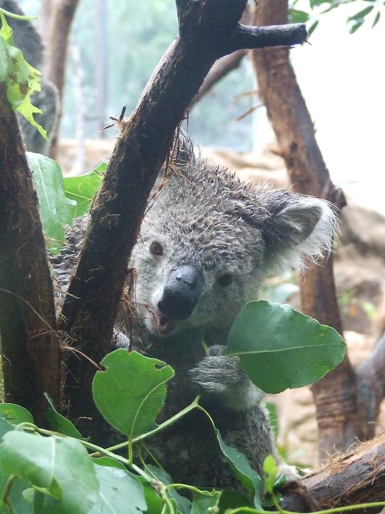 Snack Time, Koala, Sydney by Katherine Wiles